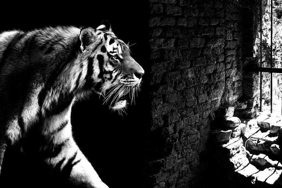 tiger-2331336_1920_1.png