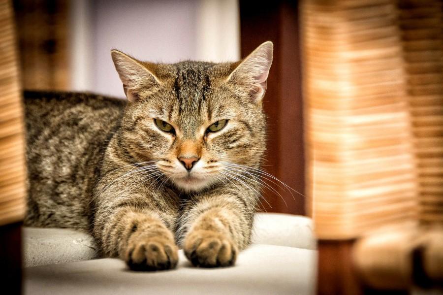 domestic-cat-726989_1920_1.jpg