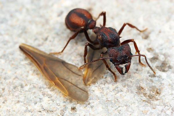 муравьиха