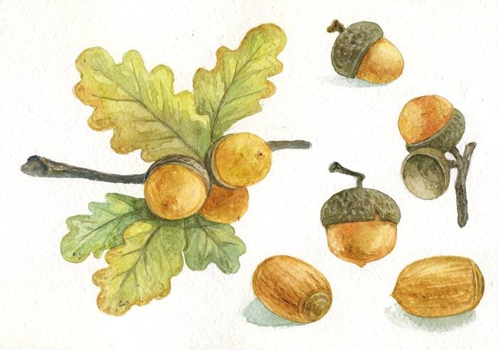 acorn-watercolor