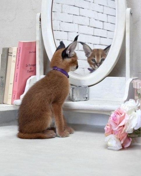 ушастый кот