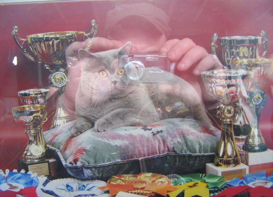 породистый кот медалист чемпион