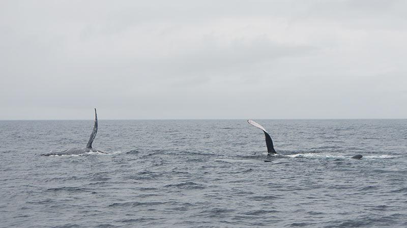 япония, окинава, горбатый кит, море, whale, whale watching, japan, okinawa, zamami, замами