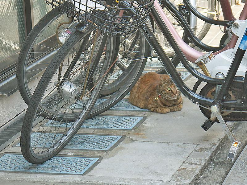 Япония, кот