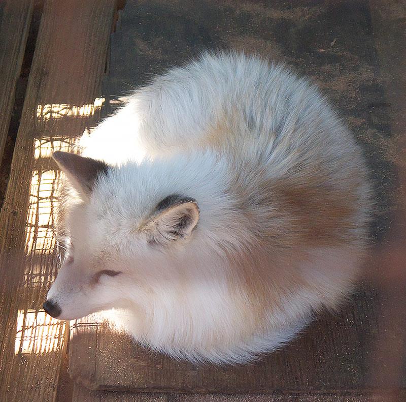 япония, зао, дзао, Лисья деревня в Дзао, лисы, полярная лиса