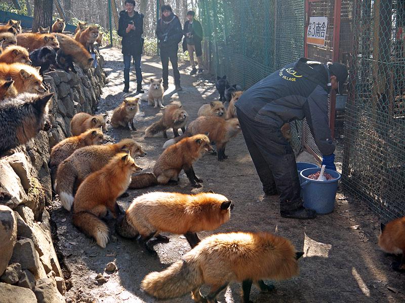 япония, зао, дзао, Лисья деревня в Дзао, лисы
