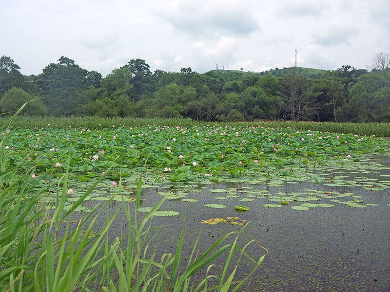 приморье, хасан, хасанский район, озеро, лотосы, панорама