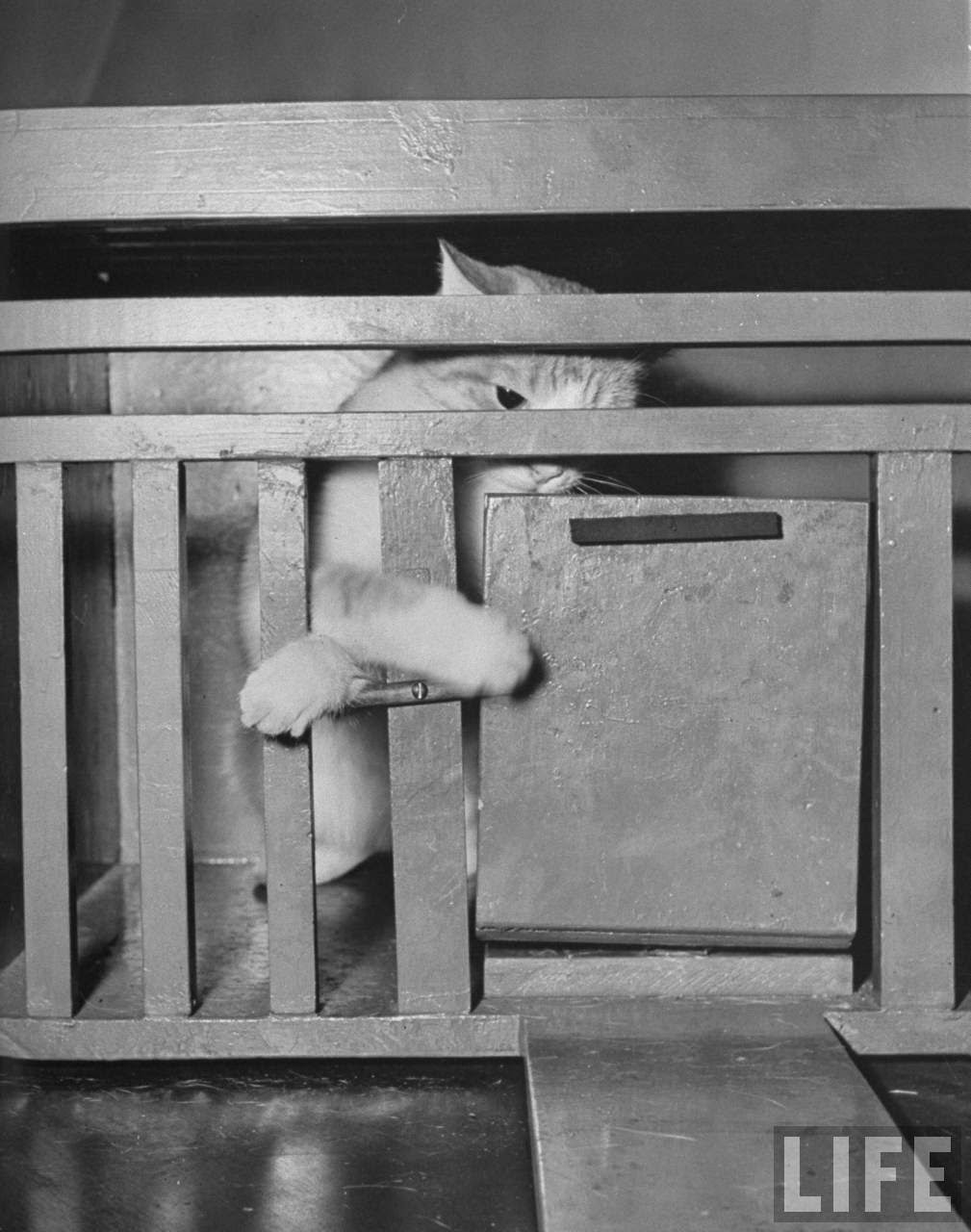 Psychology Testing on Cats at Brooklyn College, 1941 (8)