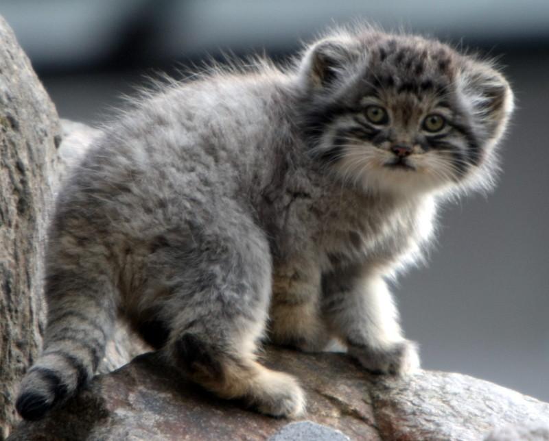 Manul_kitten.jpg
