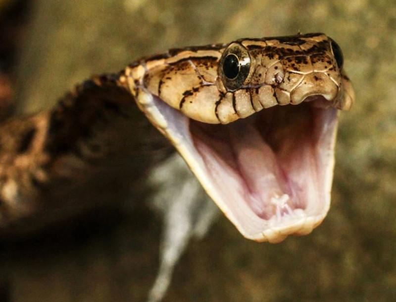 Копьеголовая змея