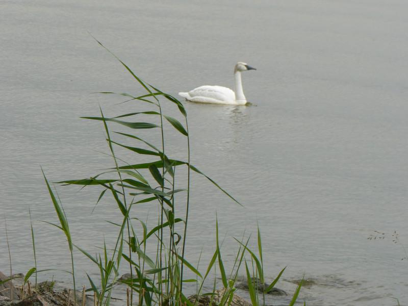 Порво - лебедь