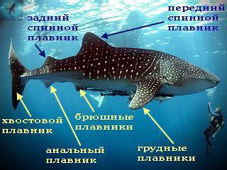 Плавники акулы