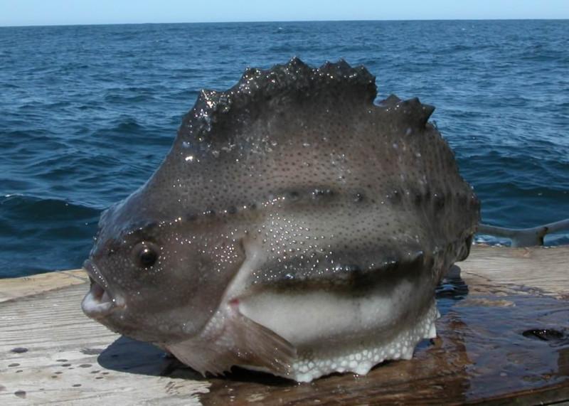 Пинагор, или рыба-воробей