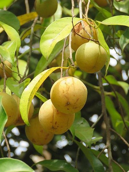 Плоды мускатника