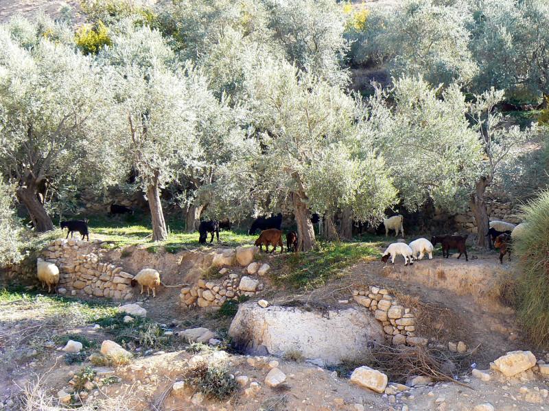 Иордания. Оливковая роща