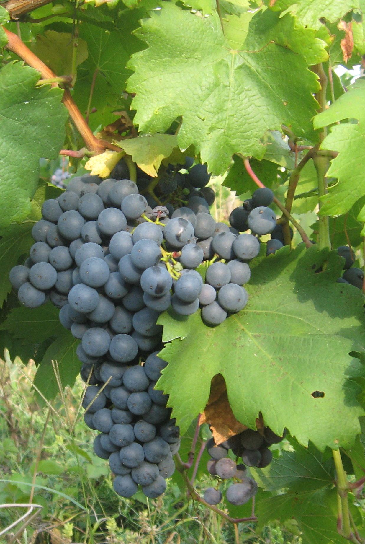 Молдавия - Виноград.