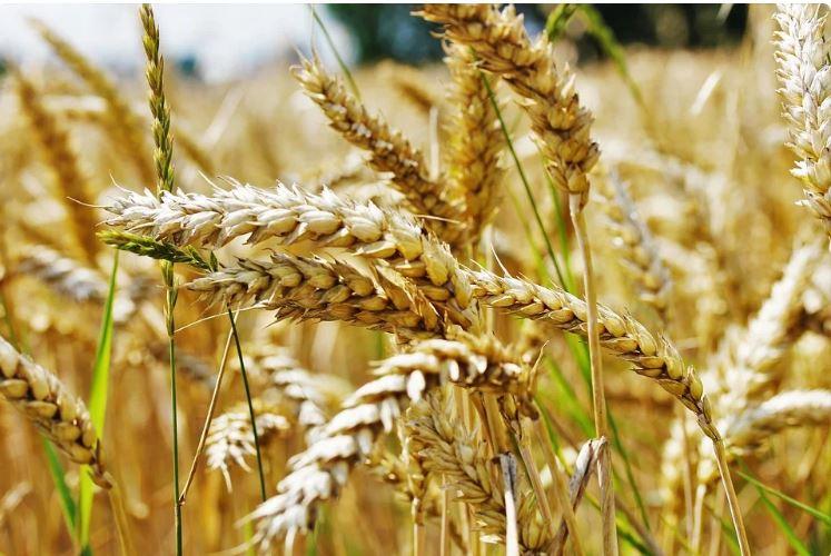 Полбяная пшеница, или пшеница спельта