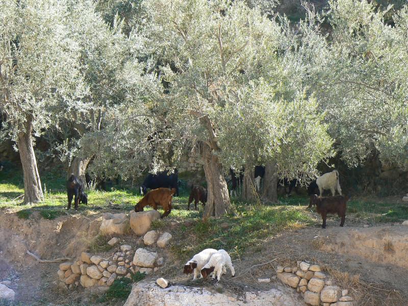 Оливковая роща. Иордания.