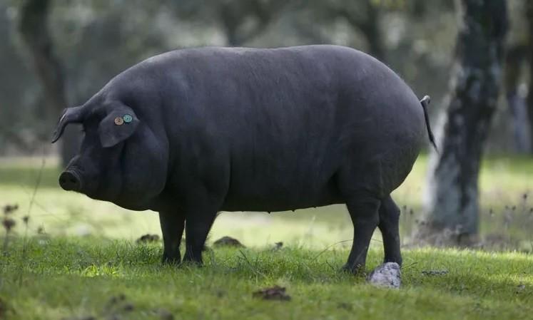 Свинья черной иберийской породы