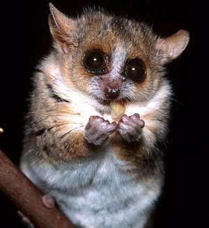 the dangerous gray mouse lemur of madagascar