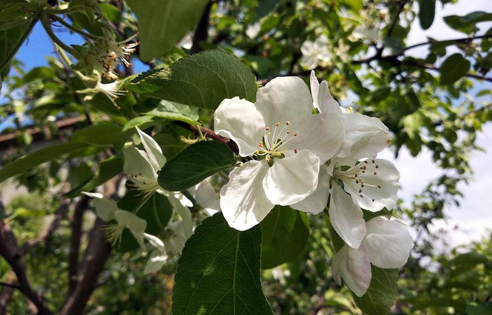 Яблони цветут. Уже оцветают :-)