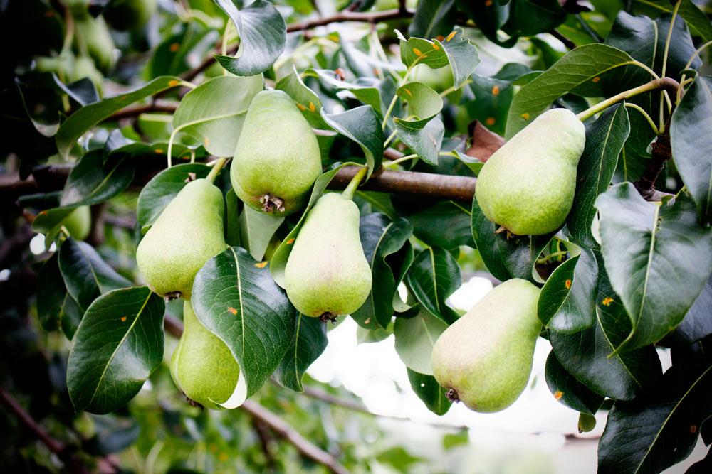 Сюрприз от грушевого дерева