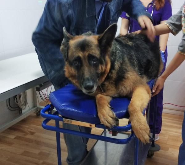 Собака Рада в больнице