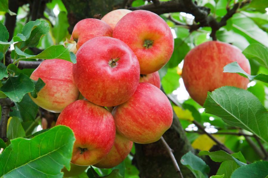Куда девать яблоки в урожайный год