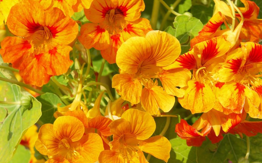 Цветы по понедельникам. Настурции
