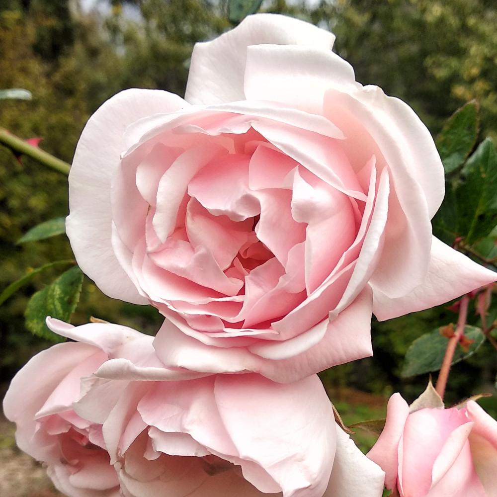 Люблю это тихое осеннее увядание Люблю, всего, провели, сегодня, Хороший, октября, неярко, цвести, будут, которые, хорошо, тихое, грядок, овощных, подготовку, клематисы, последние, астры, хризантемы, увядание