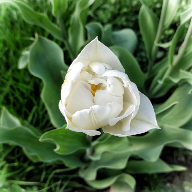 Белый тюльпан