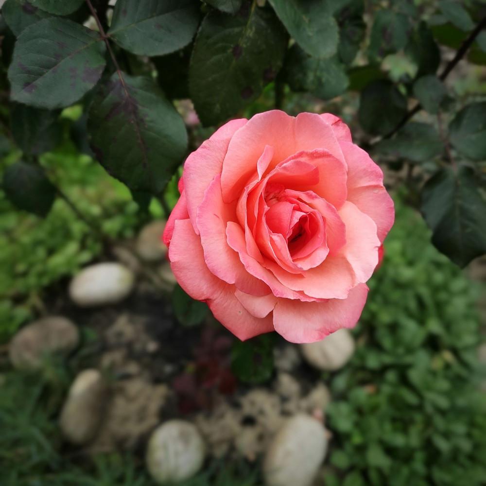 Роза для привлечения внимания