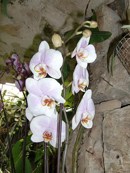орхидеи-2