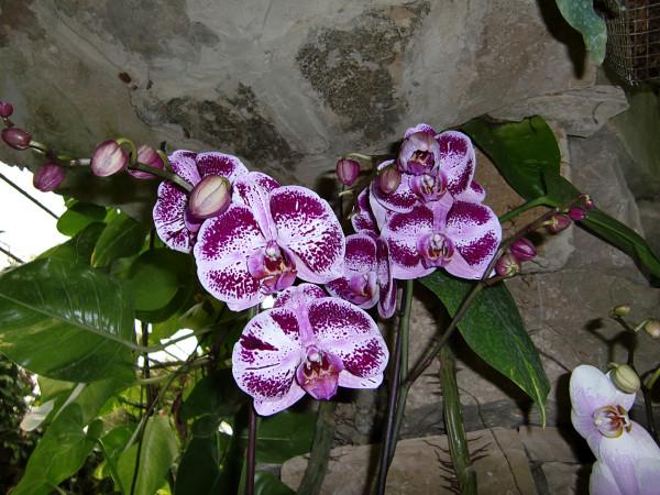 орхидеи-3