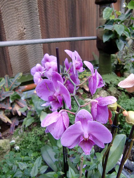 орхидеи-5