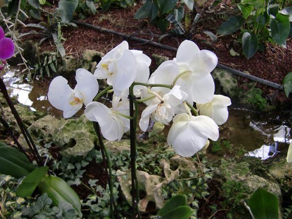 орхидеи-7