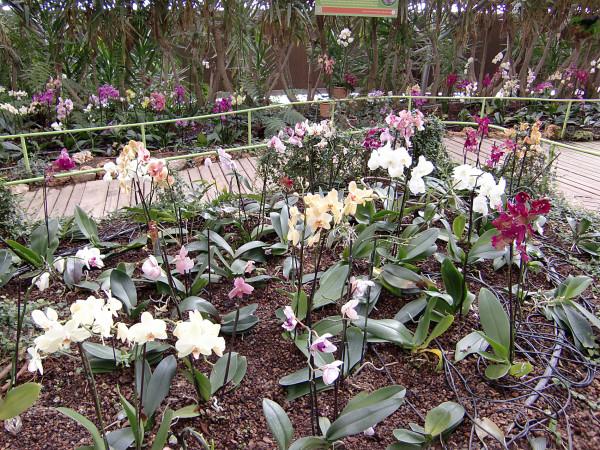 орхидеи-8