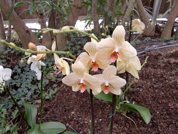 орхидеи-9