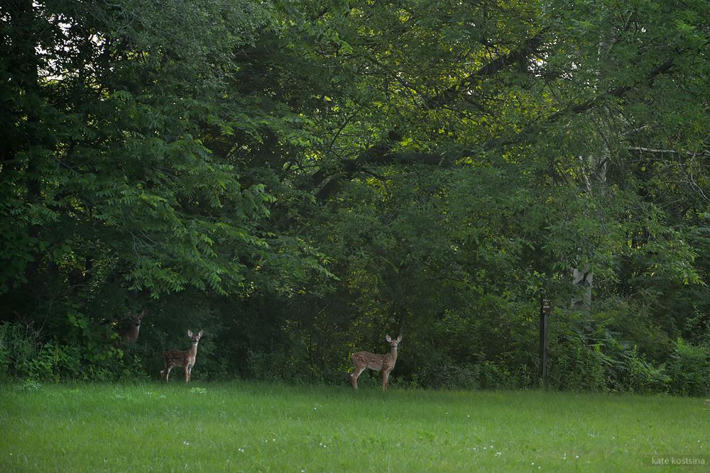 deers kostsina