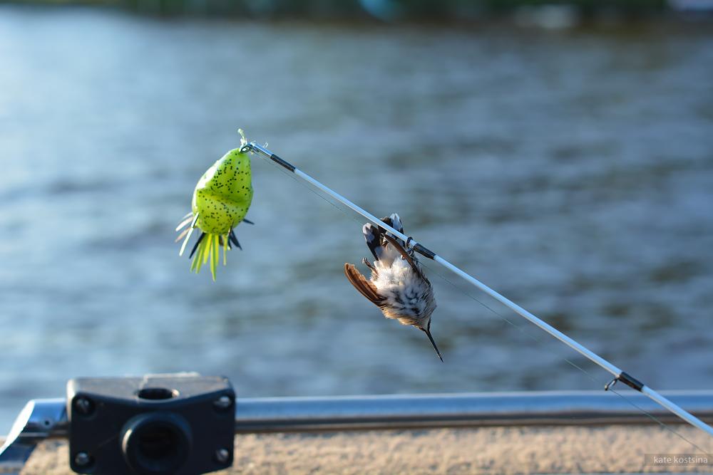 hummingbird kostsina