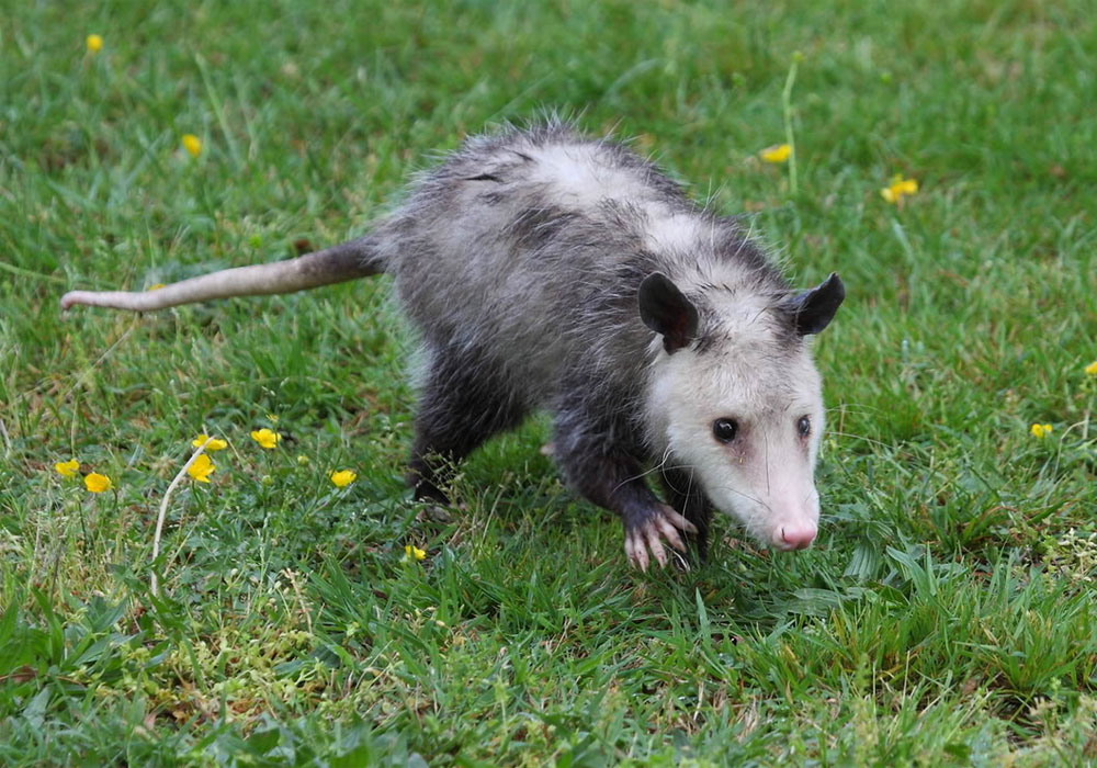 Virginskii-opossum