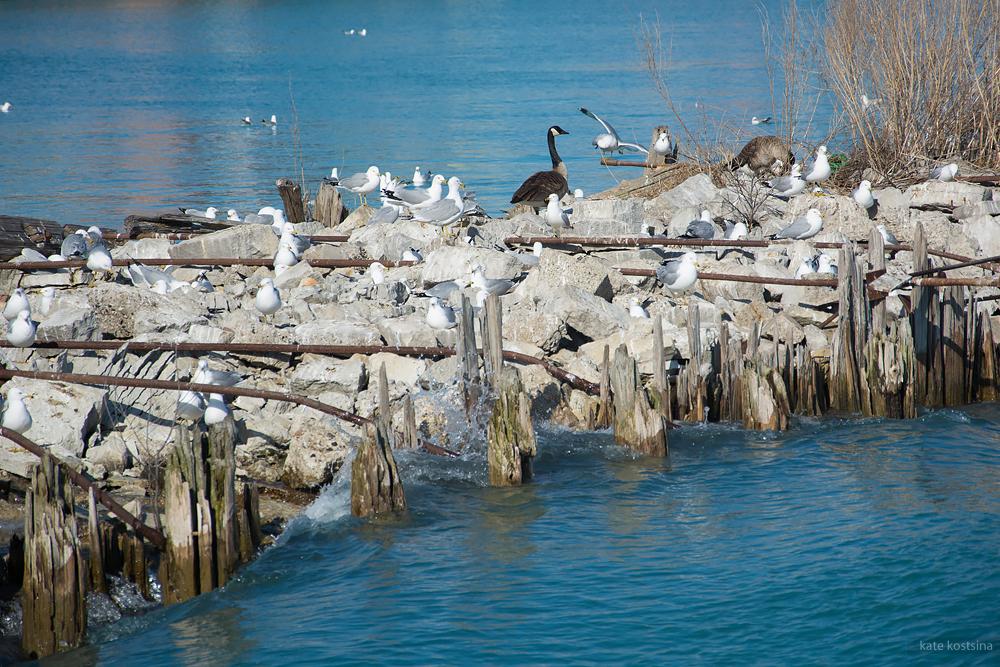Navy pier birds