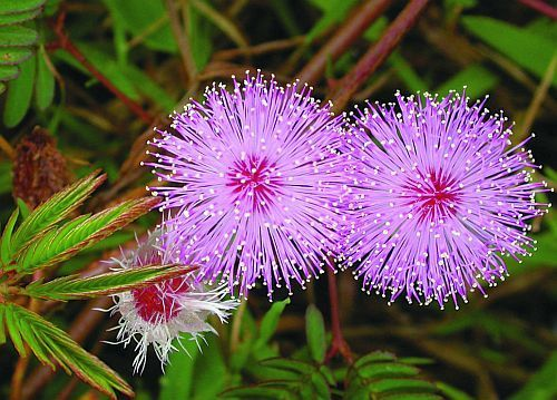 Mimosa_pudica1