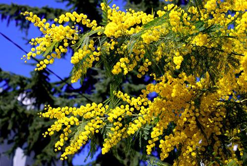 sari_mimoza_by_yurdalbilgic