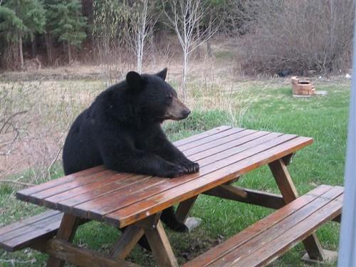 camping_bear