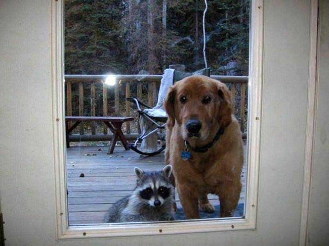 Dog-and-raccoon-wait-patiently-at-door