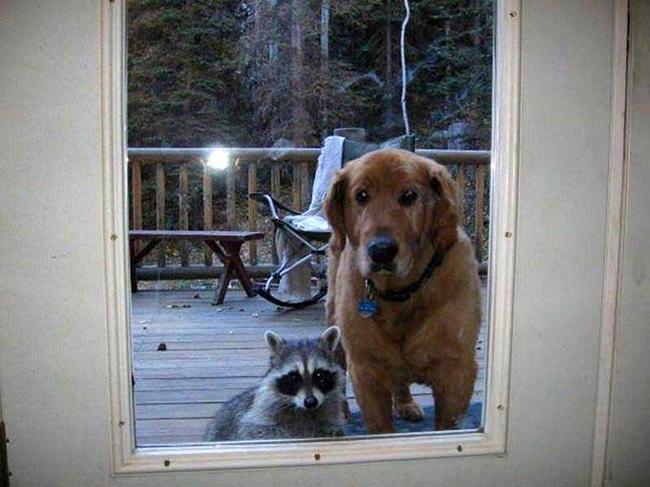Dog-and-raccoon-wait-patiently-at-door