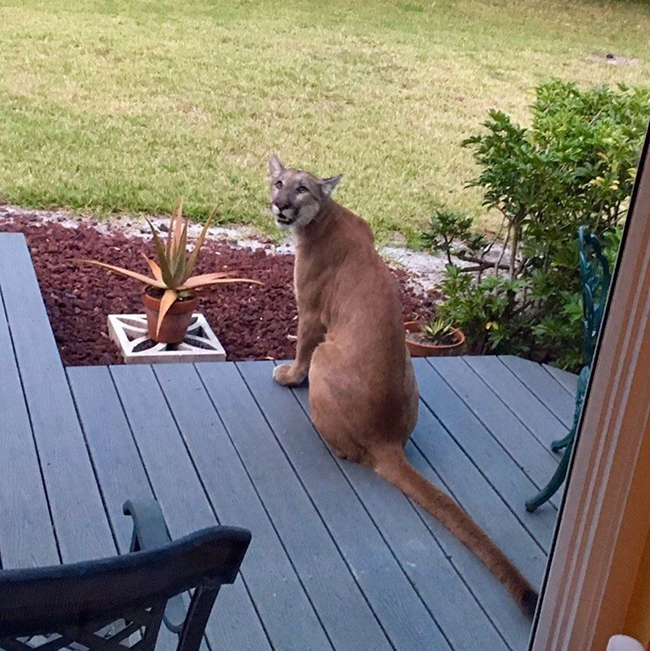 sfl-surprise-florida-man-finds-panther-sitting-on-front-porch-20160330