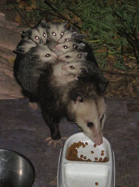 Oppossum_plus_nine