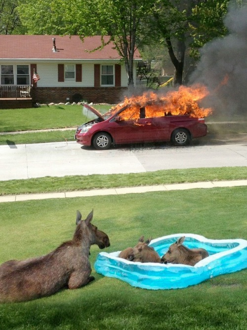 moose-car-fire